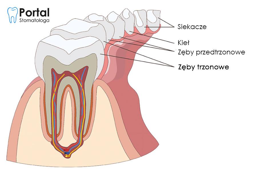 Zęby trzonowe