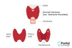 Gruczoł tarczowy (łac. Glandula thyroidea)